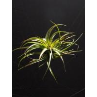 Tillandsia Brachycaulos var. Multiflora L