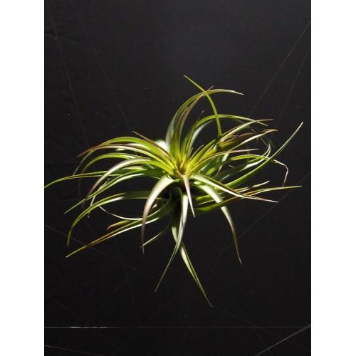 Tillandsia Bracycaulos Multiflora L airplant