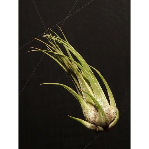 Tillandsia Seleriana x Paucifolia
