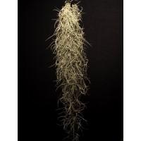 Tillandsia Usneoides i.e. Spanish Moss 30 cm