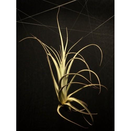 Tillandsia Balsasensis L