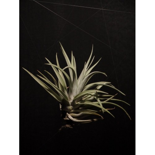 Tillandsia Harrisii L airplant