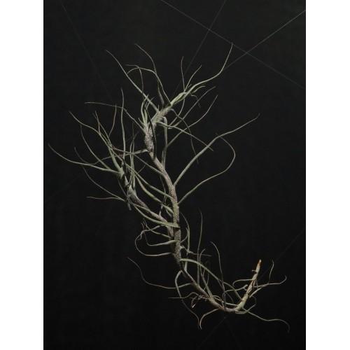 Tillandsia Caerulea M